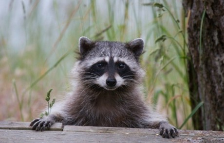 Image of Gizmo aka Trash Panda